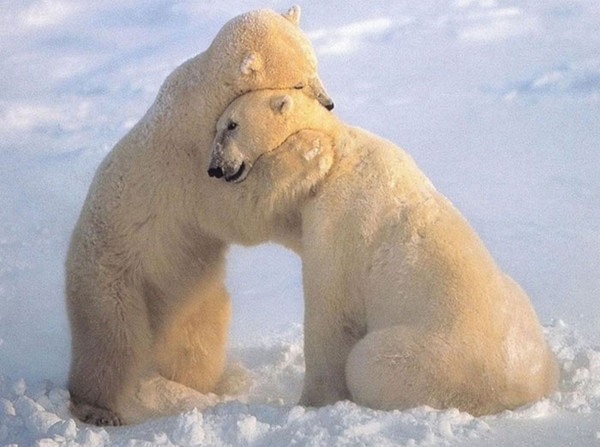 a photo of two polar bears hugging
